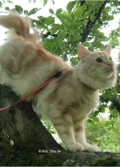 Stoy, en norsk skogkatt