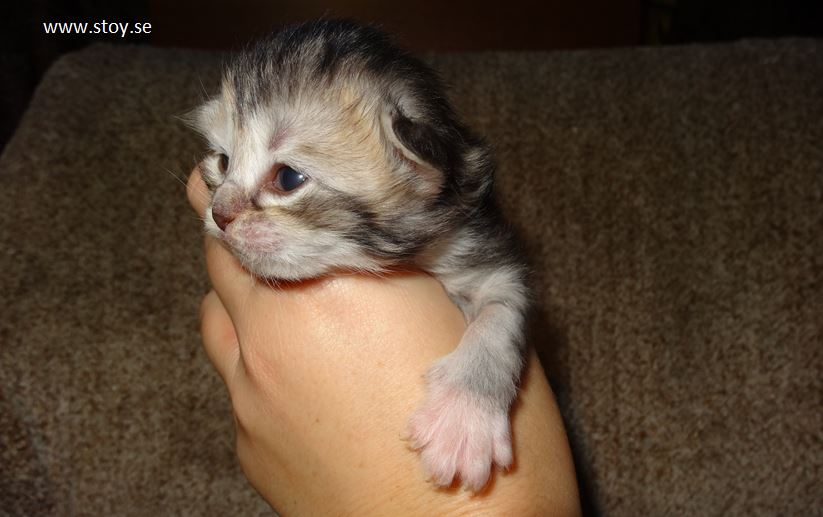kattungen Virvla är en norsk skogskatt, 11 dagar gammal
