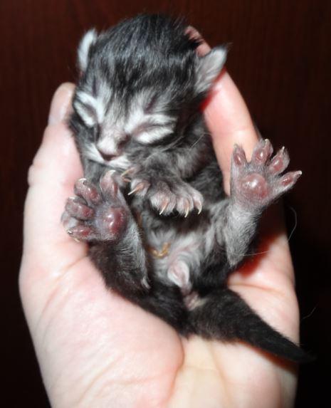 En liten katt-hane, en dag gammal.
