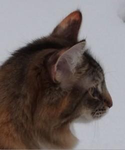 Huvudform norsk skogkatt, profil, 1 år gammal