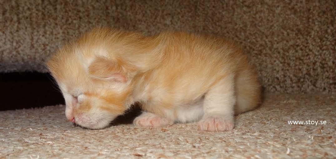 Kattunge, norsk skogskatt, 11 dagar gammal hona