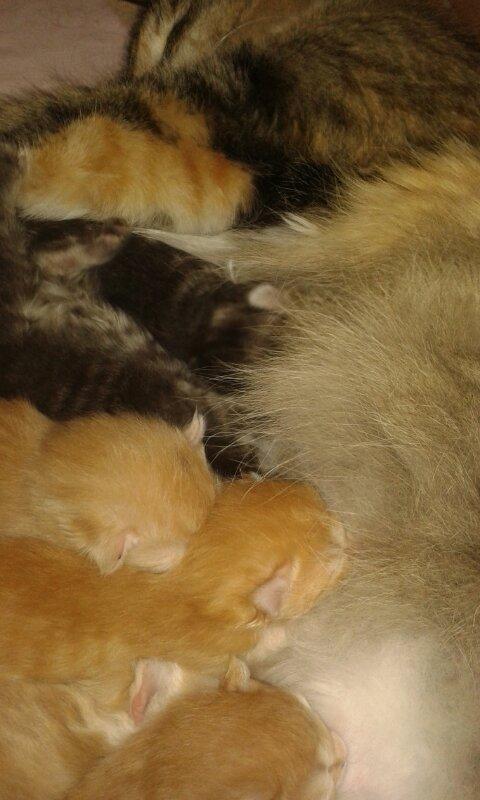 Norska skogkatter, en vecka gamla kattungar