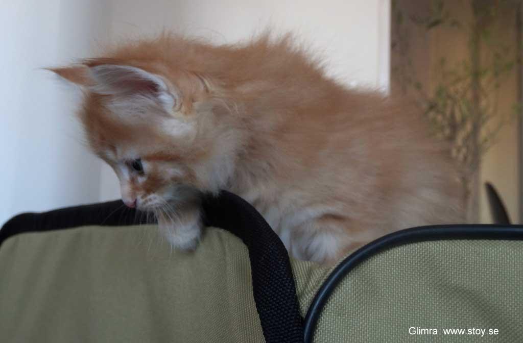 Kattungen Glimra är en liten skogis som gillar att klättra. Att rymma från kattlekhagen är roligt.