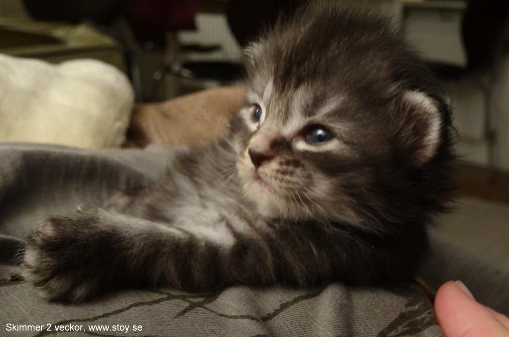Norsk Skogkatt, kattungen Skimmer svart tabby med silver
