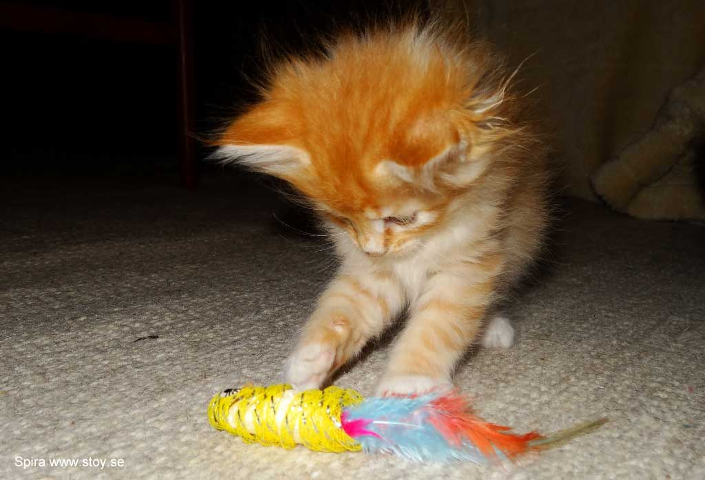 Kattungen Spira, en röd hona på 5.5 veckor i lekartagen