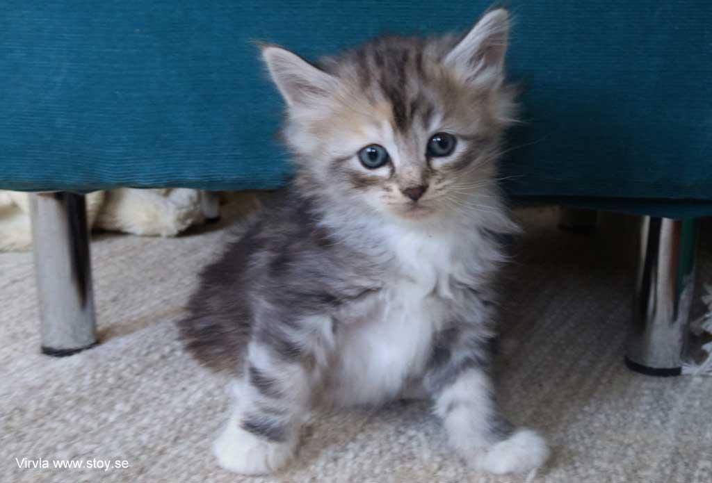 Kattungen Virvla 5 veckor