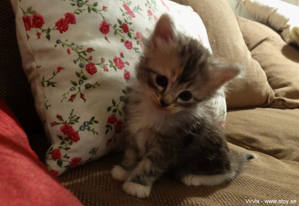 Virvla fyra veckor ung kattunge