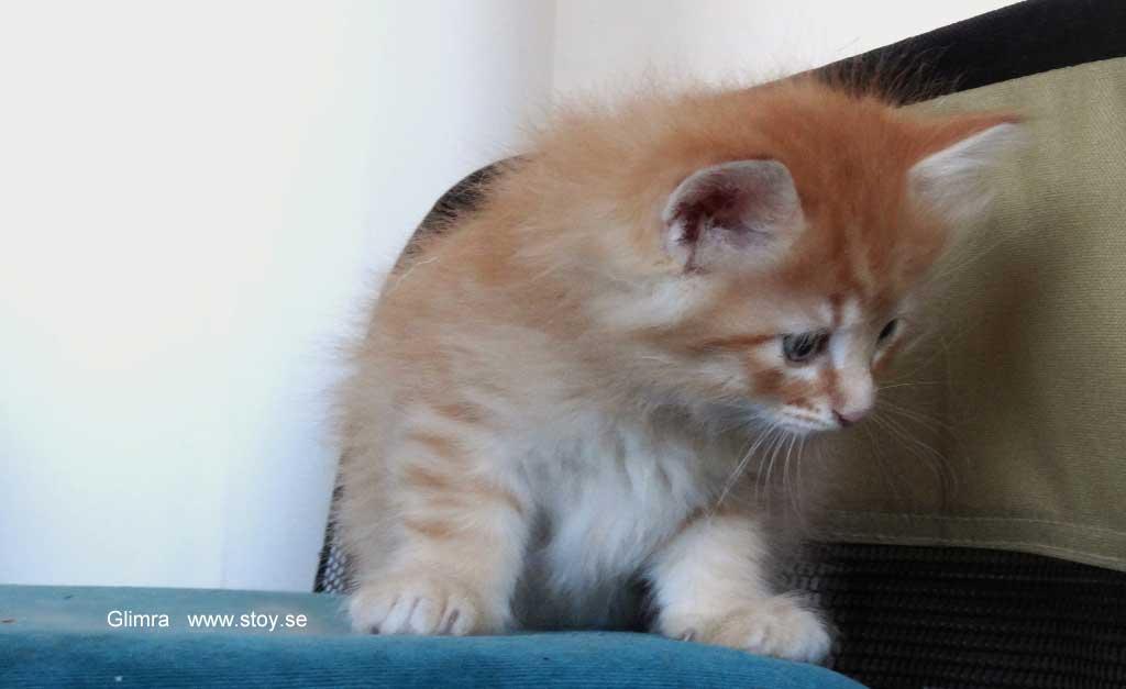 Kattungen Glimra 5 veckor