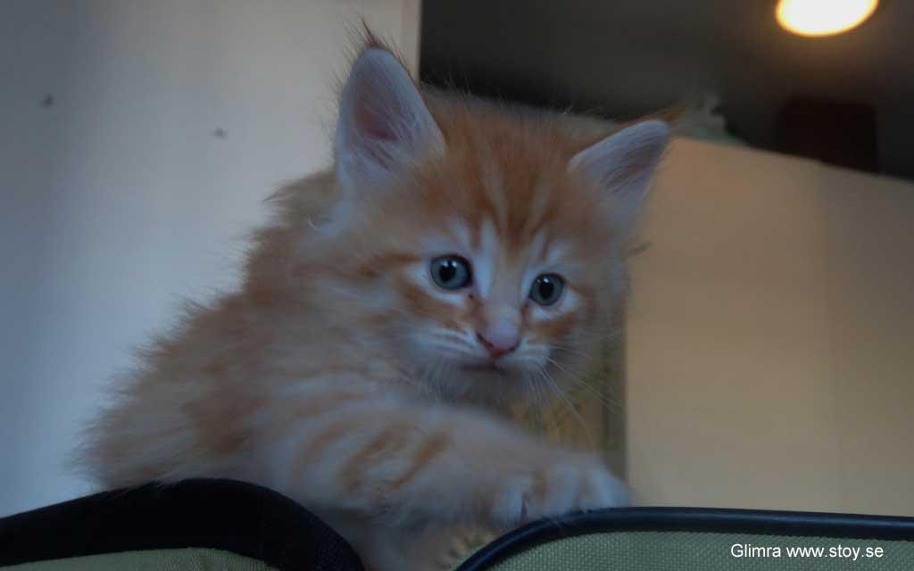 Kattungen Glimra är en liten röd hona på fem veckor.