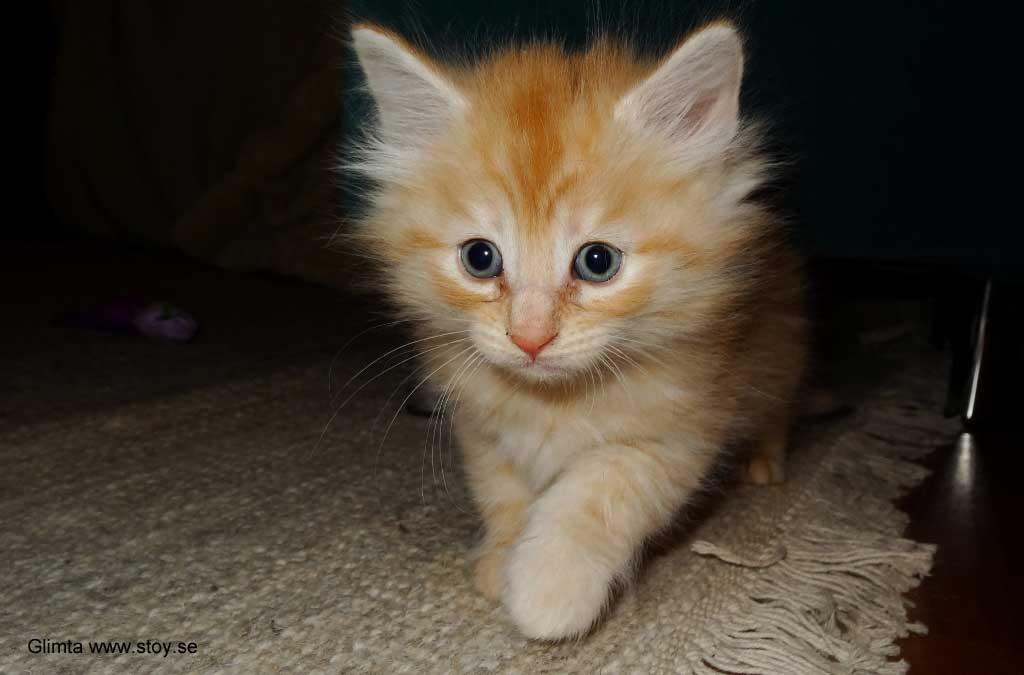 Kattungen Glimta 5 veckor. Röd hona, Norsk skogkatt.