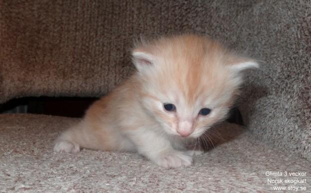 Glimta tre veckor ung Norsk skogkatt kattunge till salu i stockholm