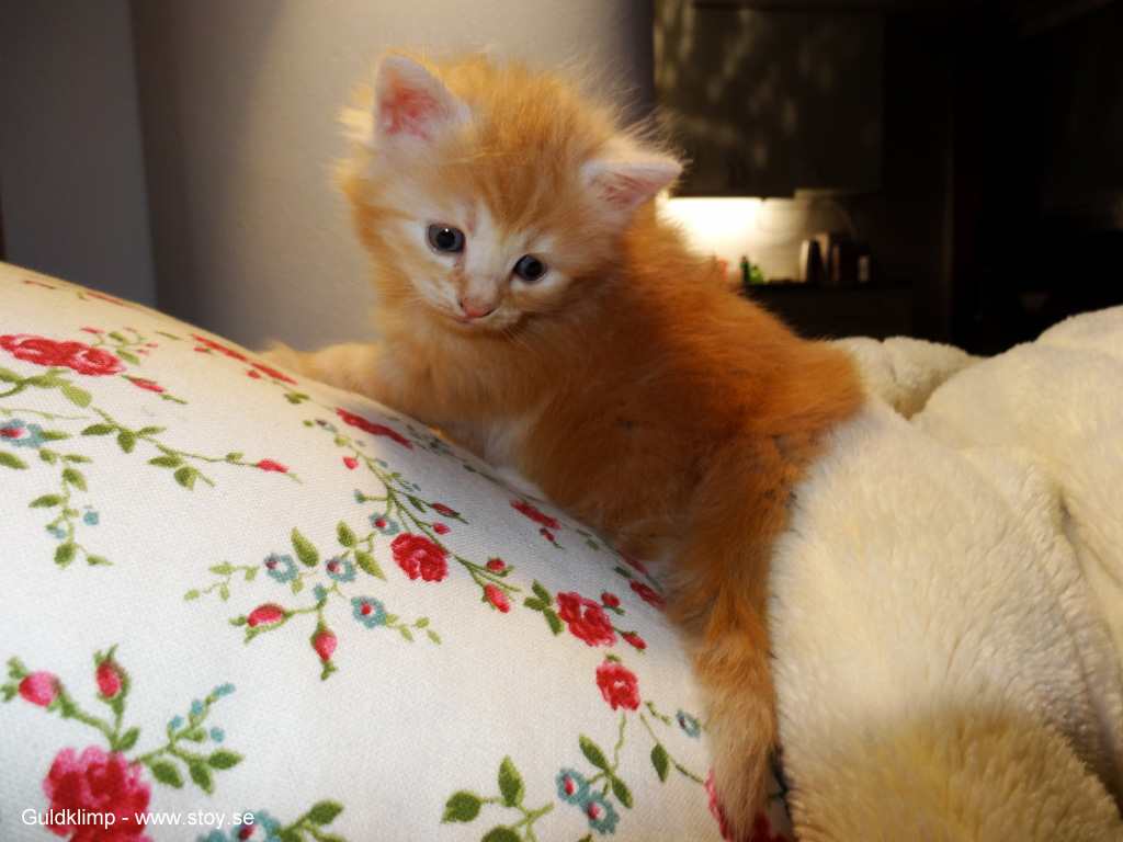 Guldklimp fyra veckor  kattunge norsk skogkatt