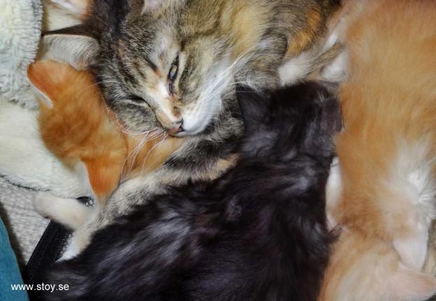 Kattfamiljen trycker i.hop sig. Kattungarna är nu fem veckor gamla.
