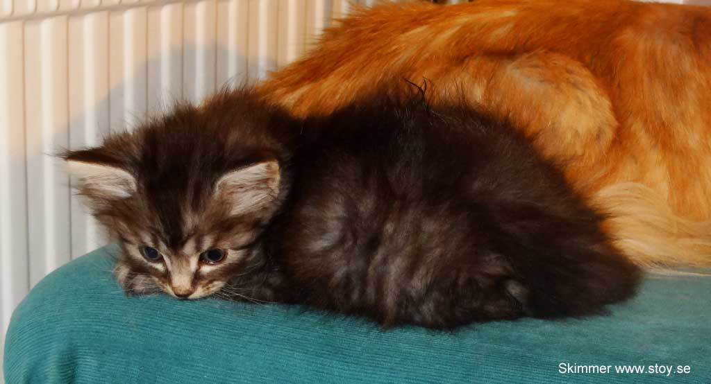 Kattungen Skimmer 5 veckor