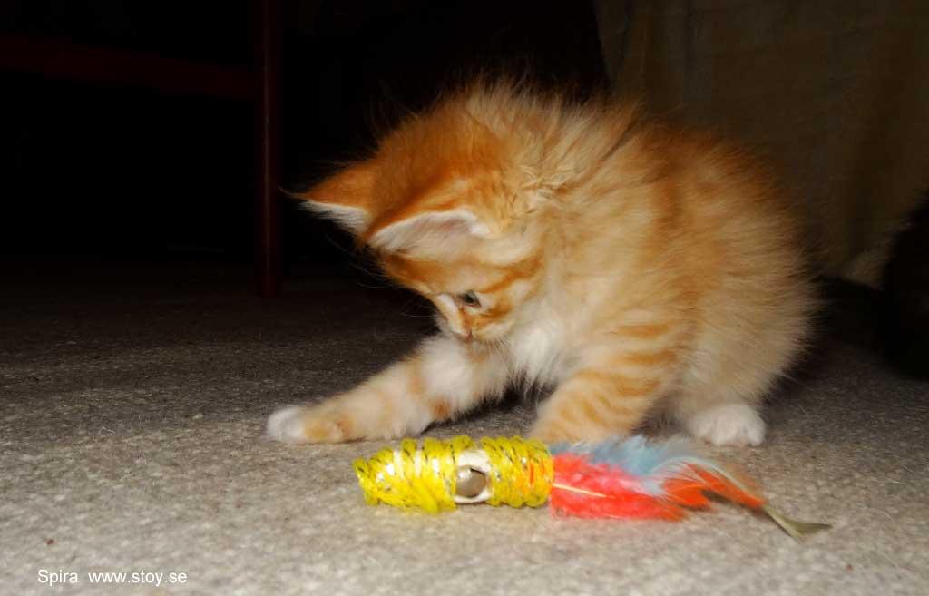 Kattungen Spira, en fem veckor ung röd hona. Norsk skogkatt.