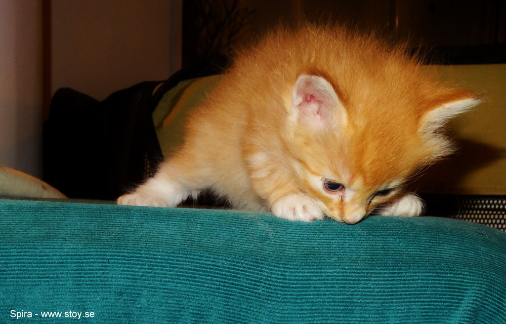 Spira fyra veckor röd hona med vitt, kattunge skogis