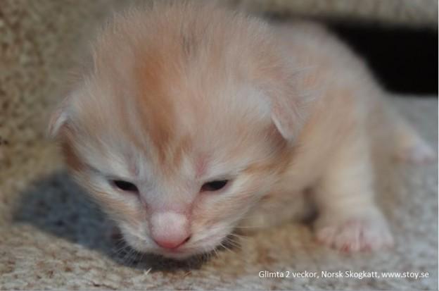 Norsk Skogskatt, kattungen Glimta två veckor
