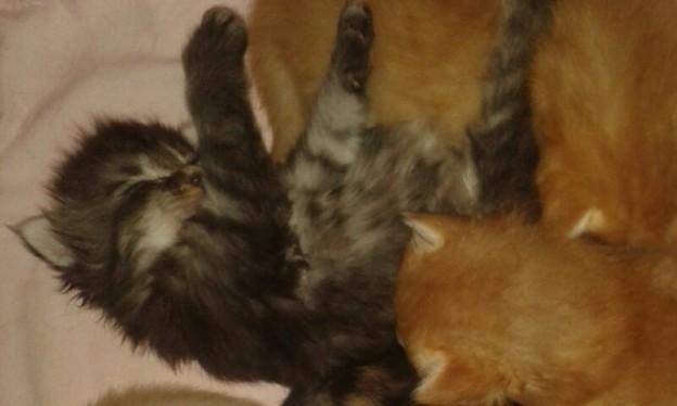 Norsk skogskatt kattungar 2,5 veckor unga