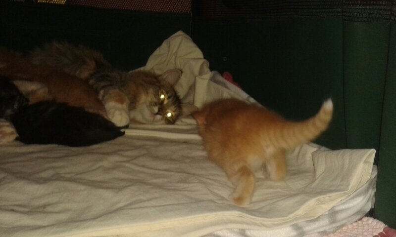 kattungen Glimra 3 veckor
