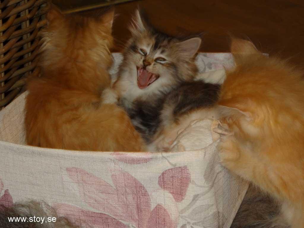 Kattungen Virva gäspar stort.