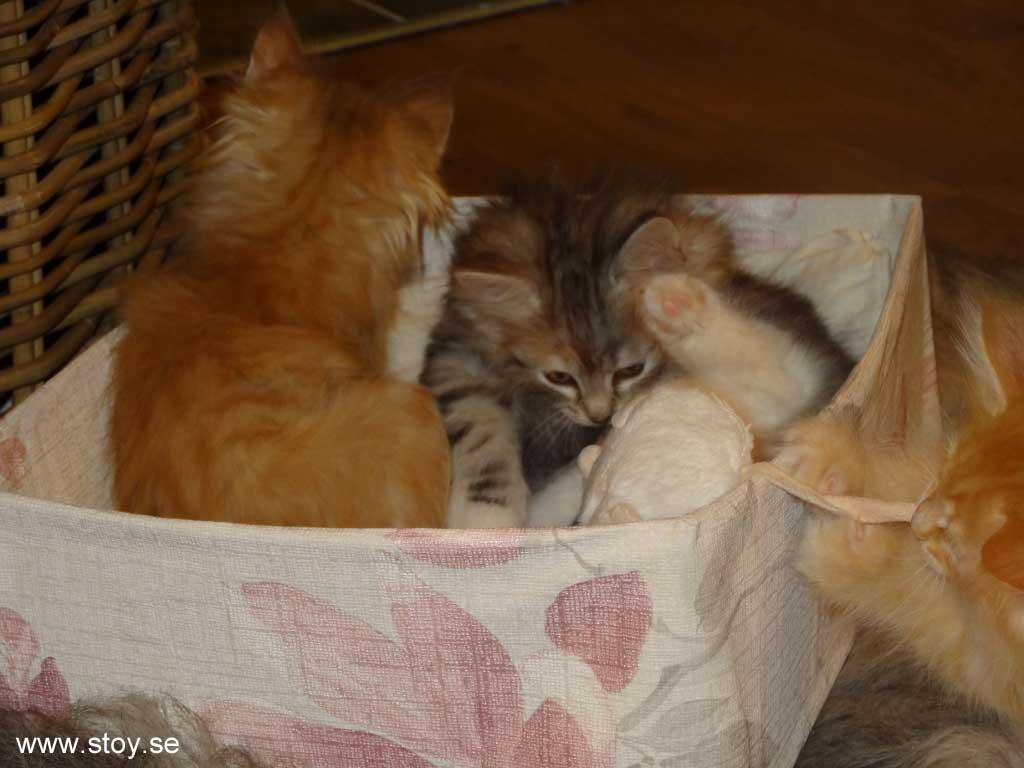 Kattungarna Glimra, Spira och Virva i lådan under julgranen.