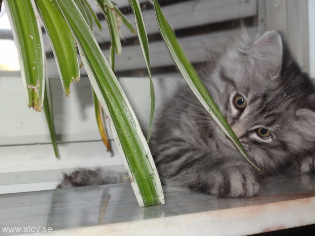 Kattungen Skimmer spanar in Ampelliljan. Funkar bra att äta istället för kattgräs.
