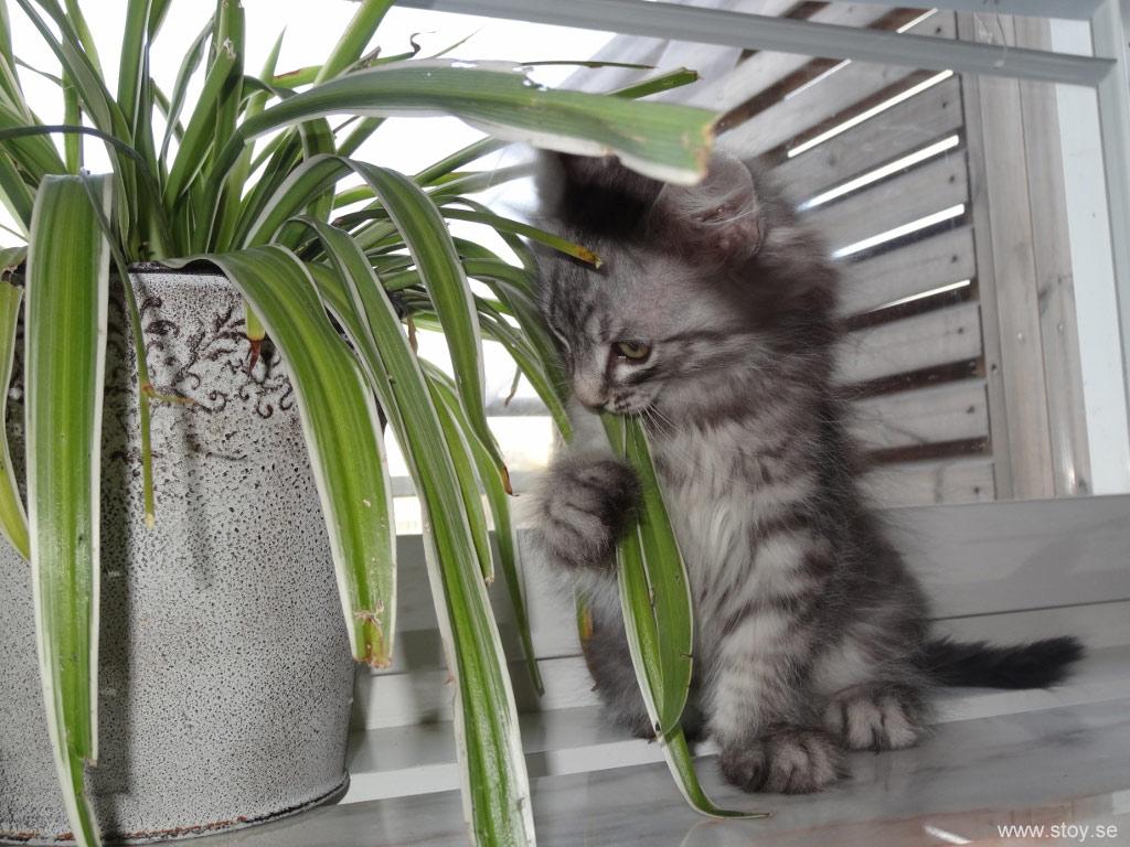 Katten Skimmer 9 veckor testar att äta Ampellilja, funkar bra istället för kattgräs.