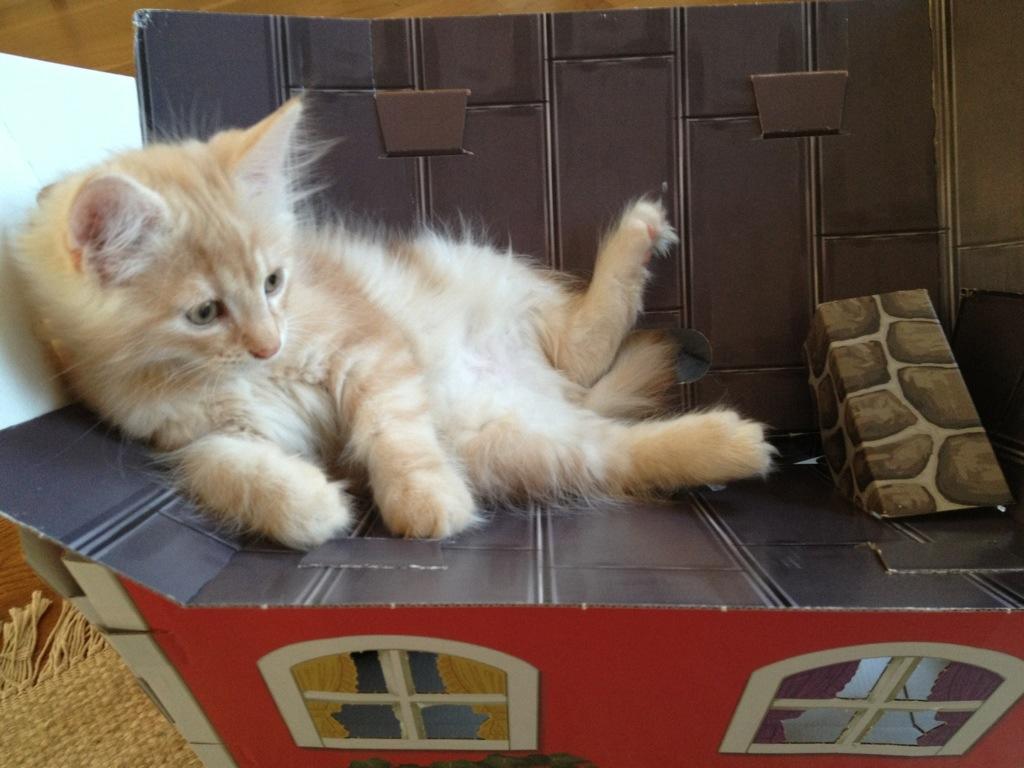 Kattungen Guldklimp hoppar upp på katthustaket som rasar in.