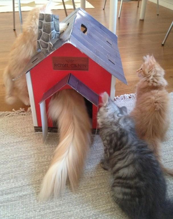 Kattpappa Stoy kryper in i kattlekhuset vilket intresserar kattungarna