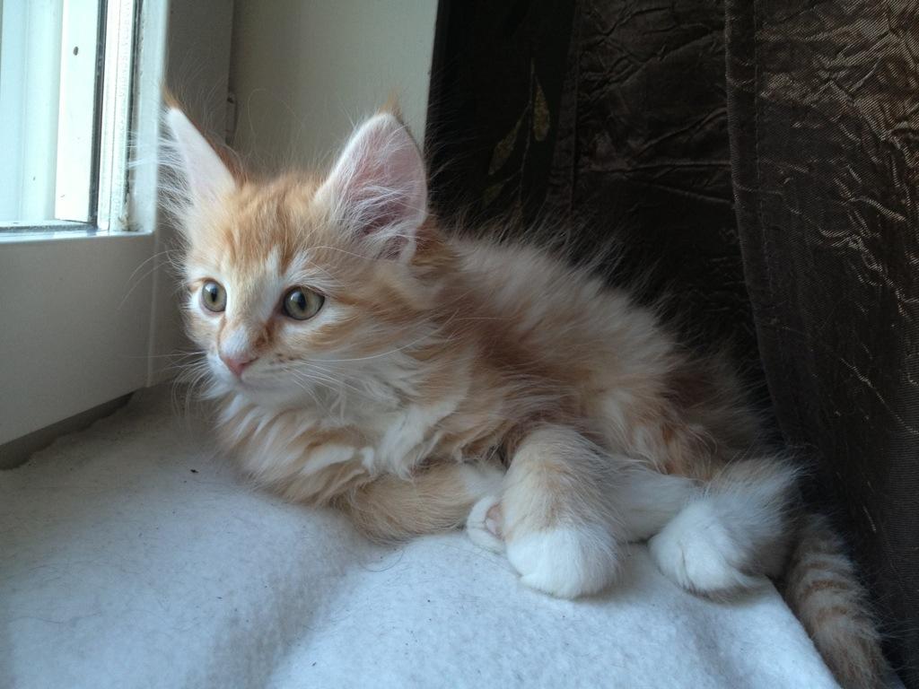 Kattungen Spira är här en 10 veckor ung Norsk Skogkatt.