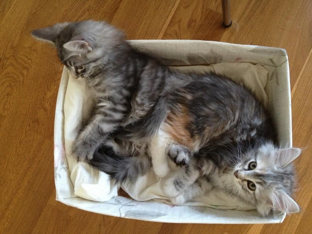 Kattungarna Virvla och Skimmer 10 veckor unga