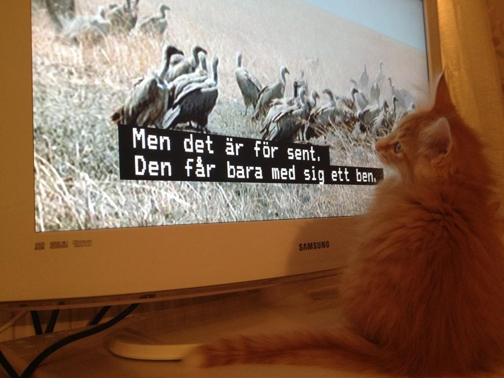Kattungen Glimra kollar på djurprogram på tv. Här är Glimra 10 veckor.