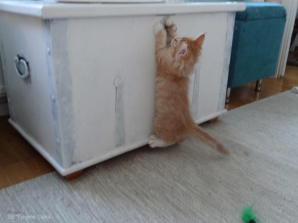 Kattungen Spira 9 veckor ung norsk skogkatt
