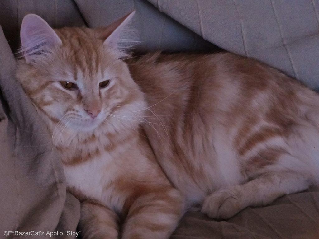 Stoy övervakar sina små busandes kattungar.
