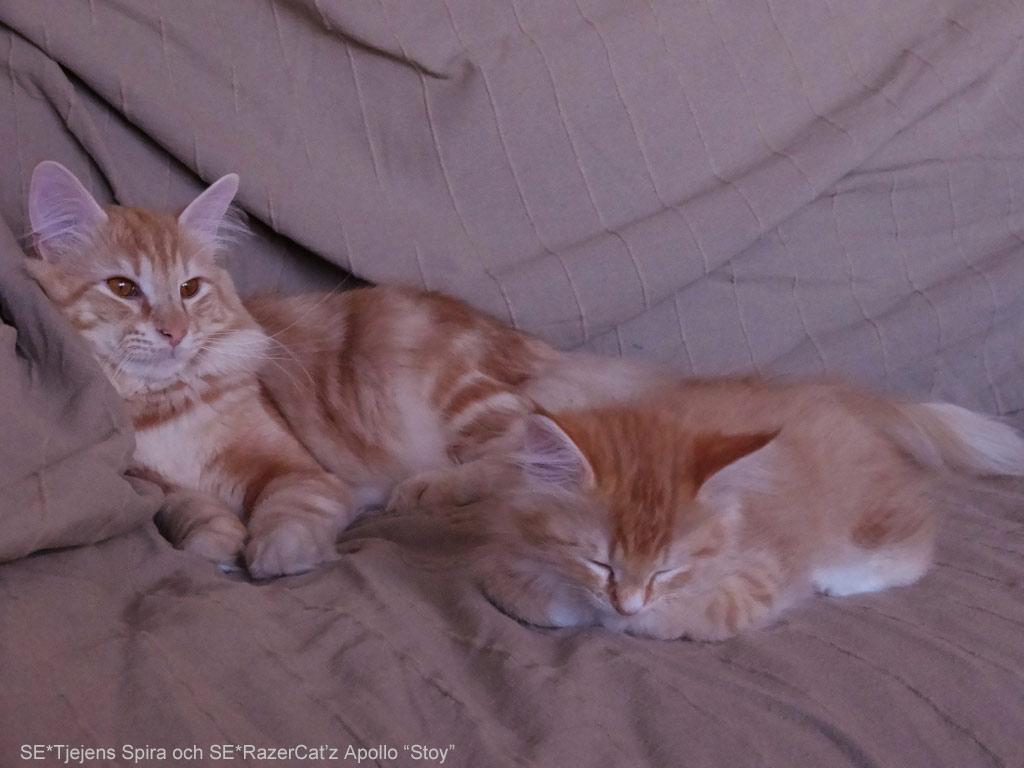 Lilla kattungen Spira tar en paus med kattpappa Stoy.