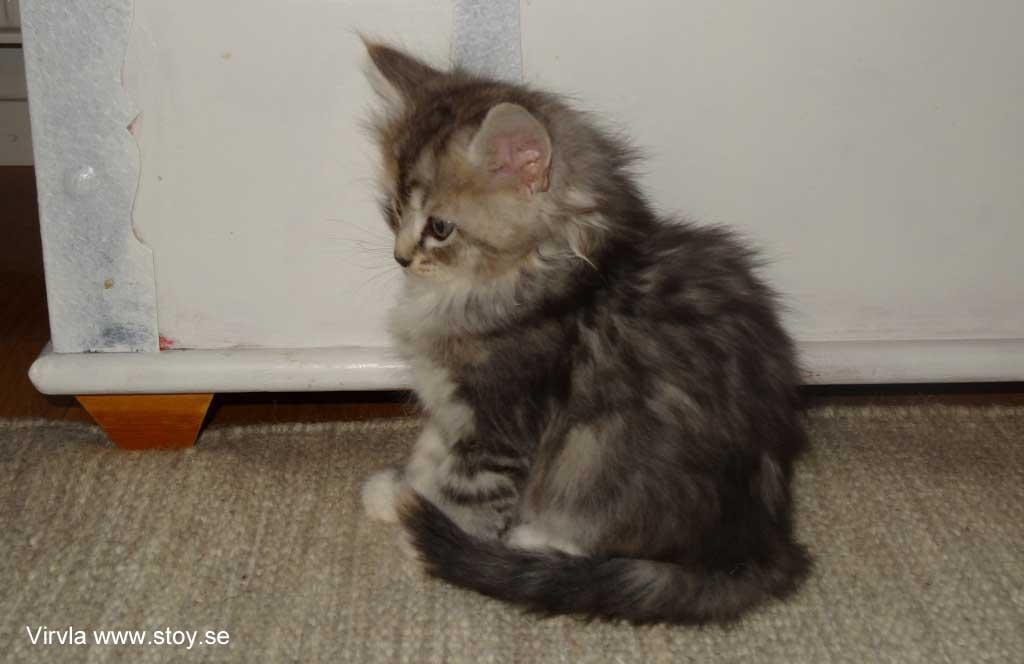 Kattungen Virvla 6 veckor.