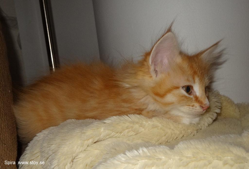 Kattungen Spira 8 veckor Norsk skogkatt