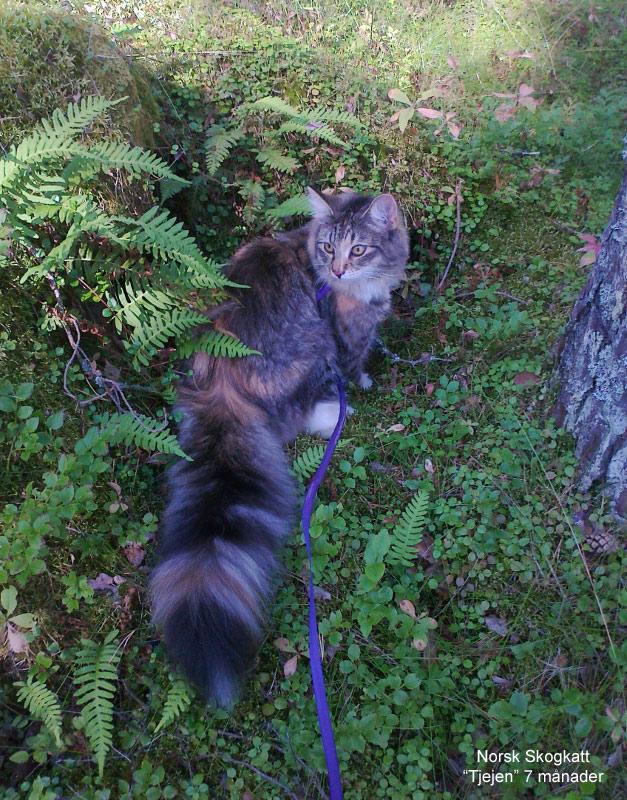 Norsk skogkatt 7 månader
