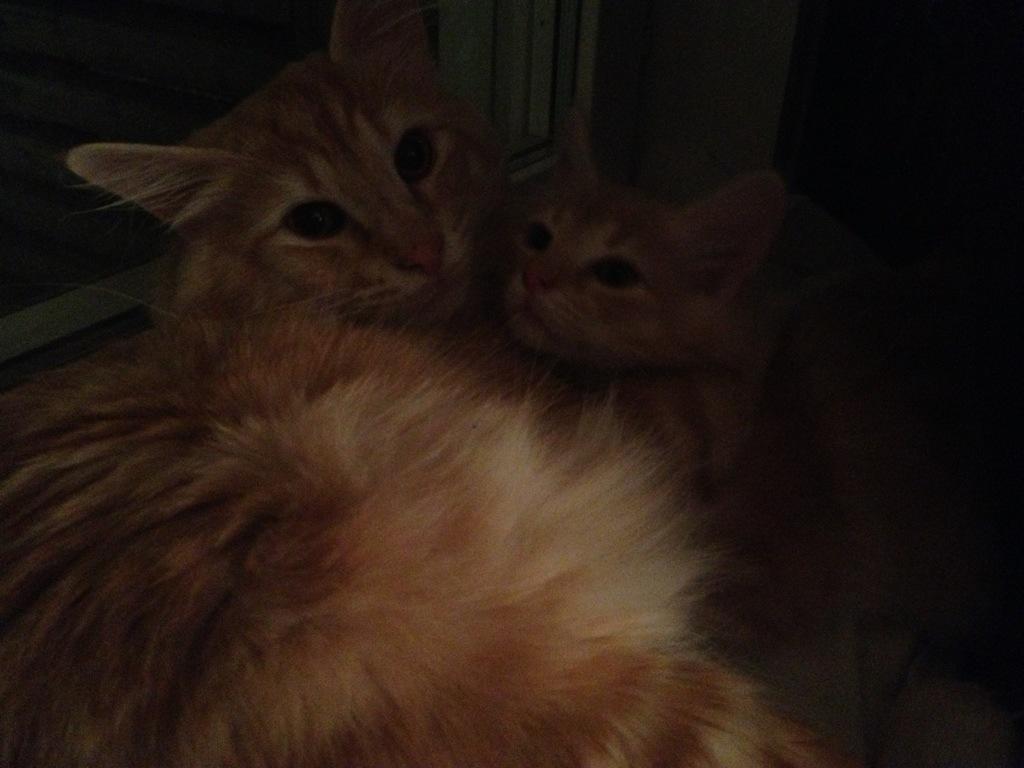Kattungen Guldklimp myser med Kattpappa Stoy i fönstret. Lika som bär?