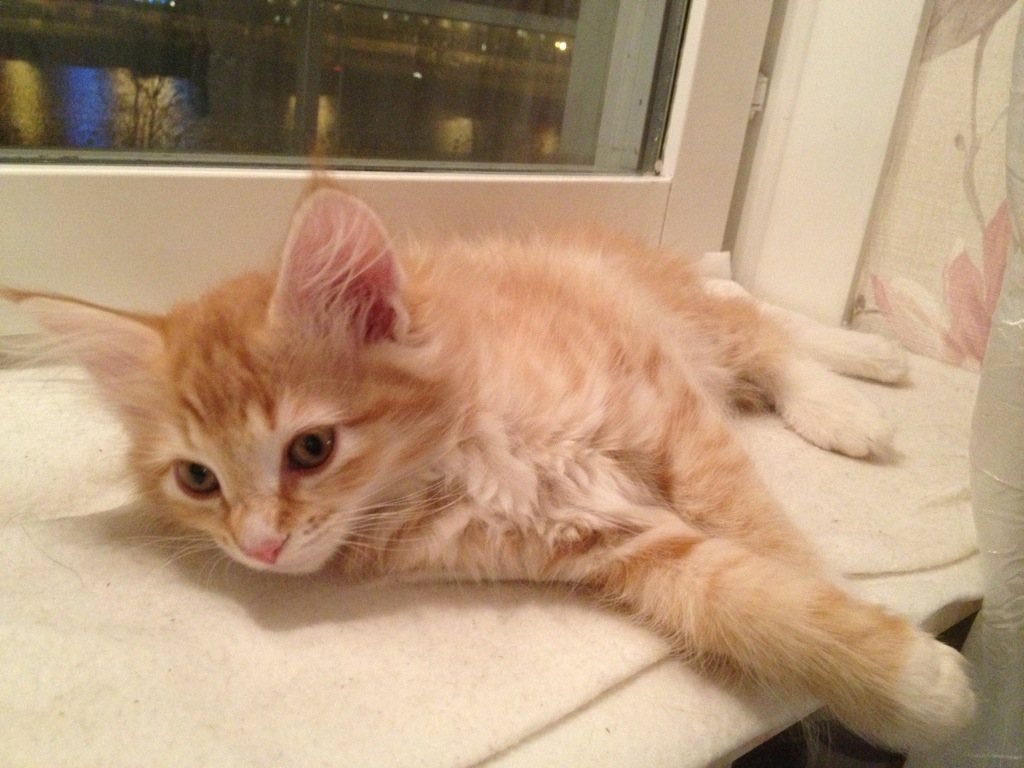 Kattungen Spira ligger och vilar i fönstret, 10,5 veckor ung.