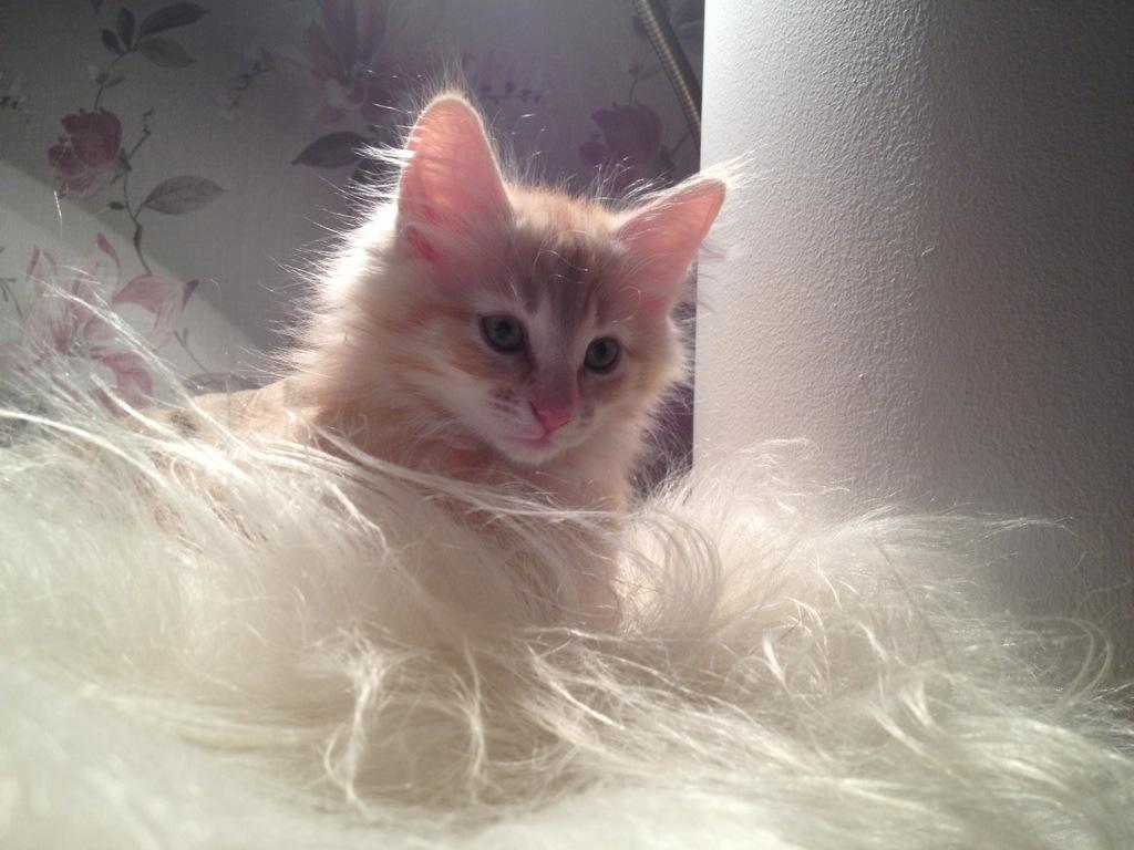 Kattunge Glimta sitter och spanar, här 10,5 veckor ung.