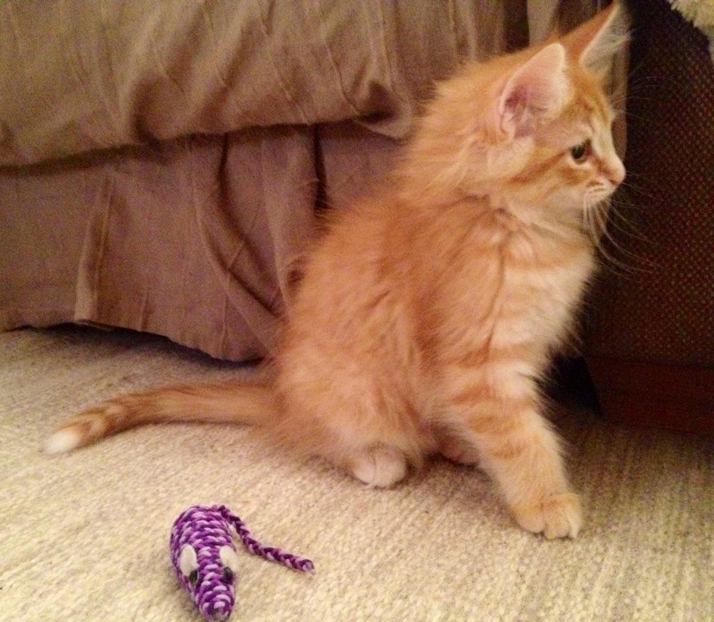 Kattungen Glimra har nyss lekt med råttan, här 10,5 veckor ung.