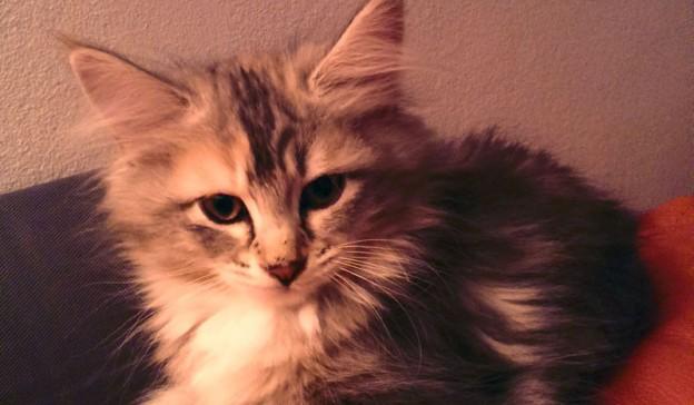 Katten Sessan räds inte att bli blöt om tassarna