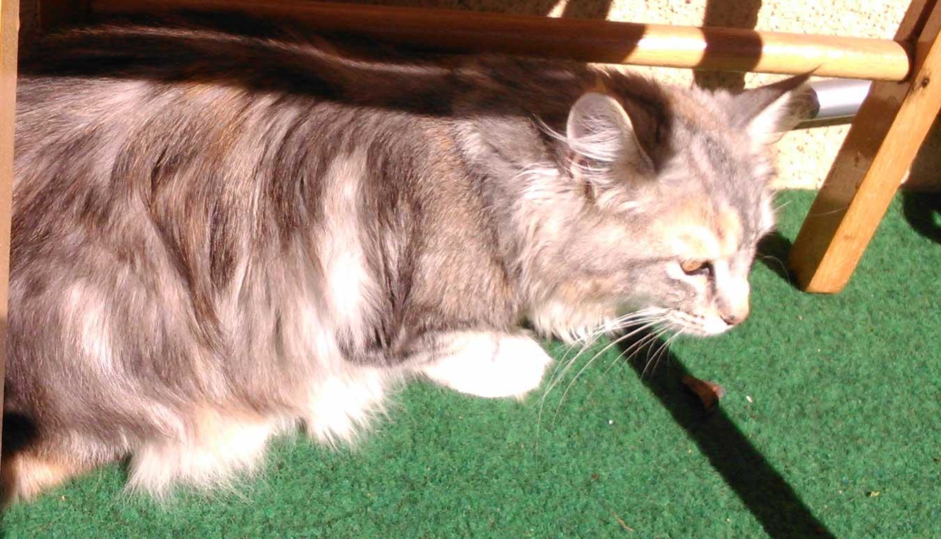 Katten Sessan, en 6 månader norsk skogkatt som gillar balkonen