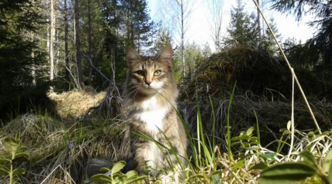 Tjejen är en Norsk skogkatt som gillar att vara gå på promenad i skogen