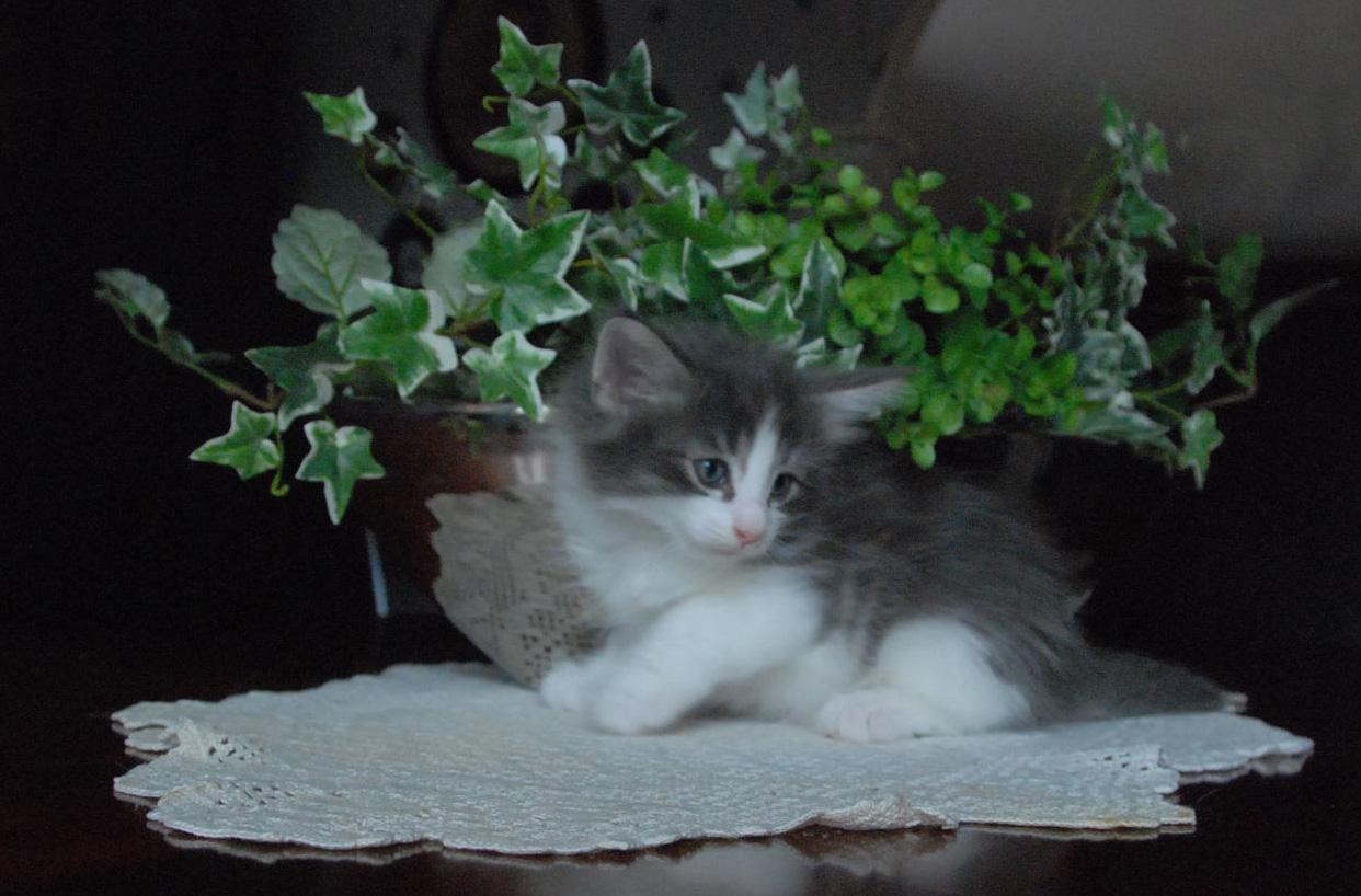 Blå-vit söt norsk skogkatt hos Aborgatos kattuppfödning.