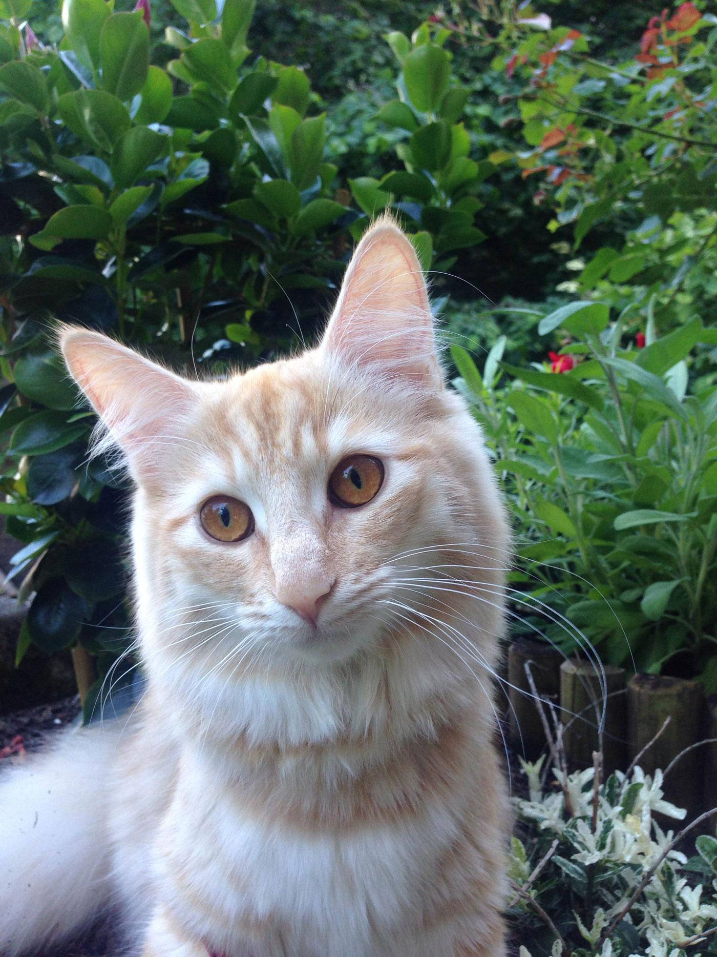 Norska skogkatten Elsy 8,5 månader