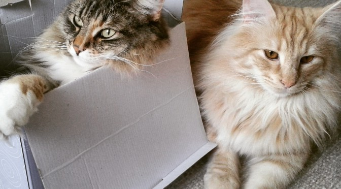 Katterna leker i papperslådan