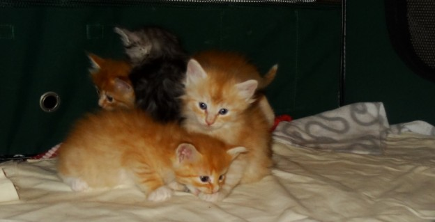 Kattungarna 4.5 veckor