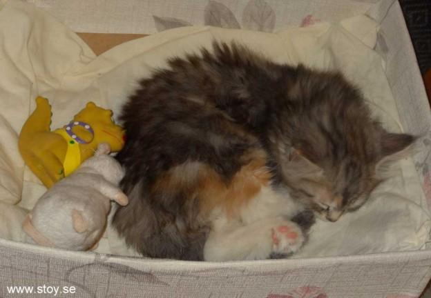 Söta kattungen Virvla har sina favoritplatser att sova på